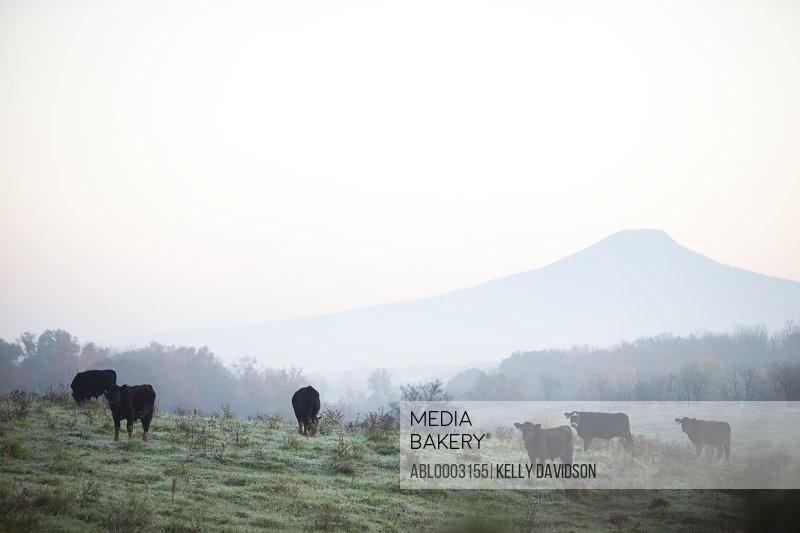 Cows Grazing in Misty Field