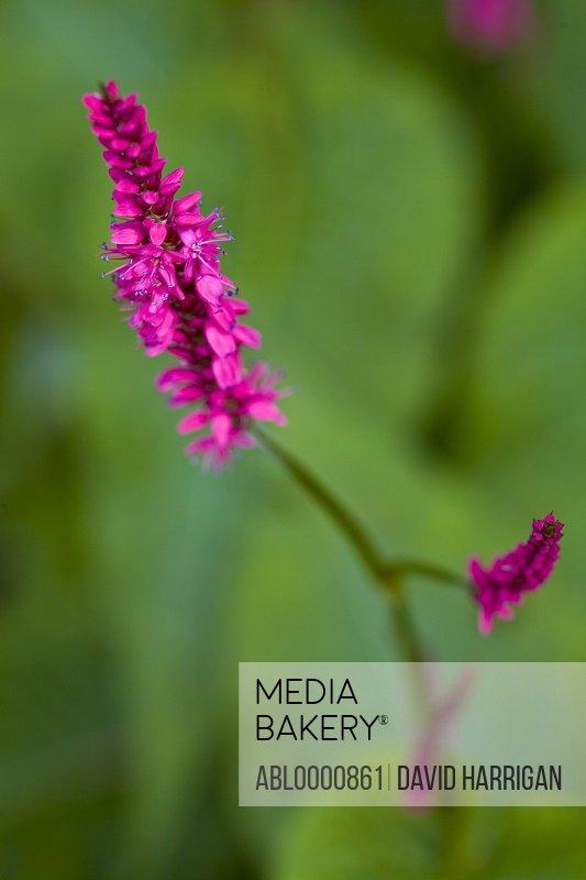 Bright pink polygonum flower