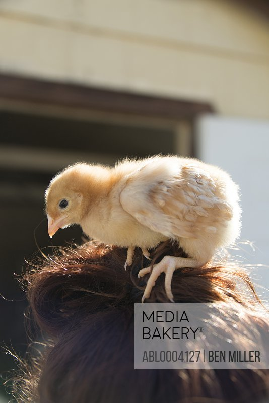 Baby Chick Perched on Woman's Head