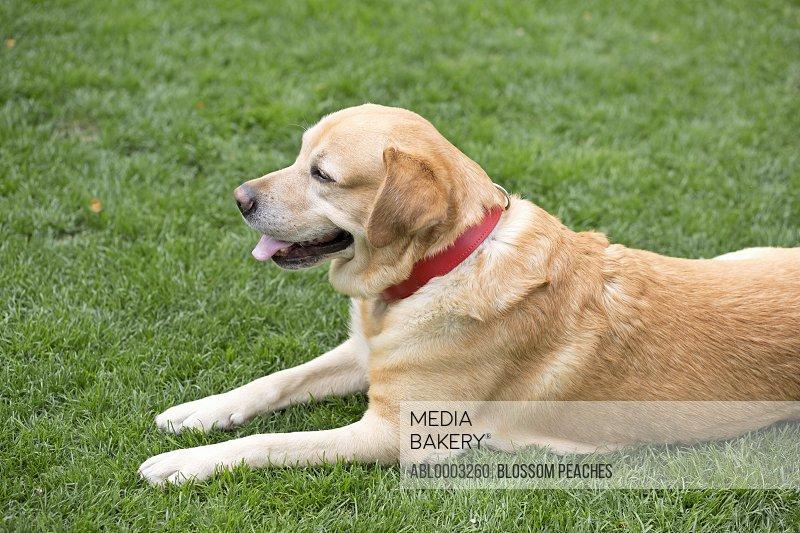 Labrador Dog Lying on Grass