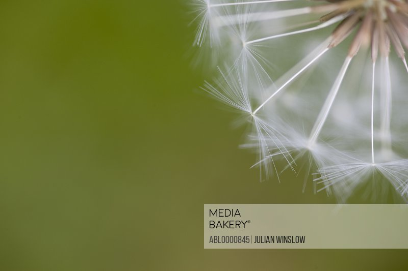 Detail of dandelion clock - Taraxacum seed