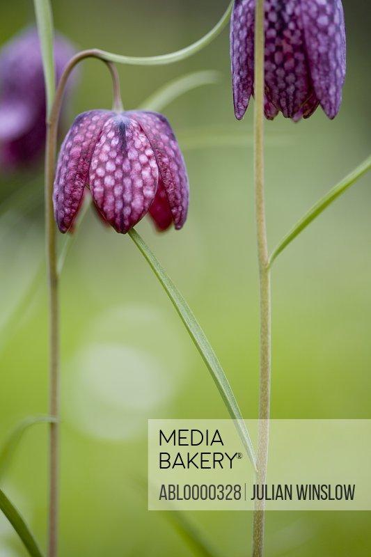 Dark pink snake's-head fritillary - Fritillaria meleagris