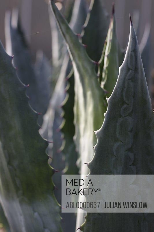Agave americana leaves