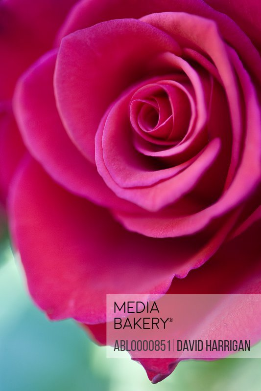 Close up of a dark pink rose