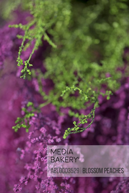 Pink and Green Flower Buds, Full Frame