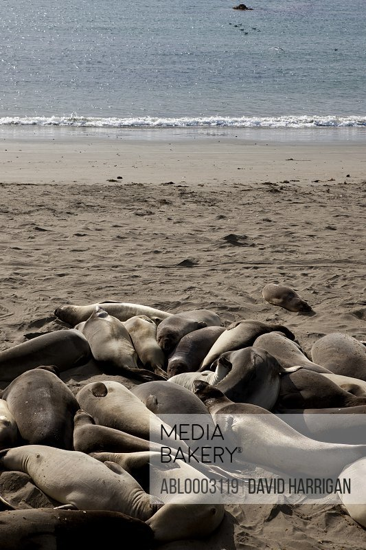 Group of California Sea Lions Basking on Beach