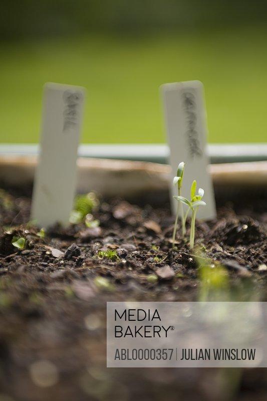 Spring seedling of organic herbs