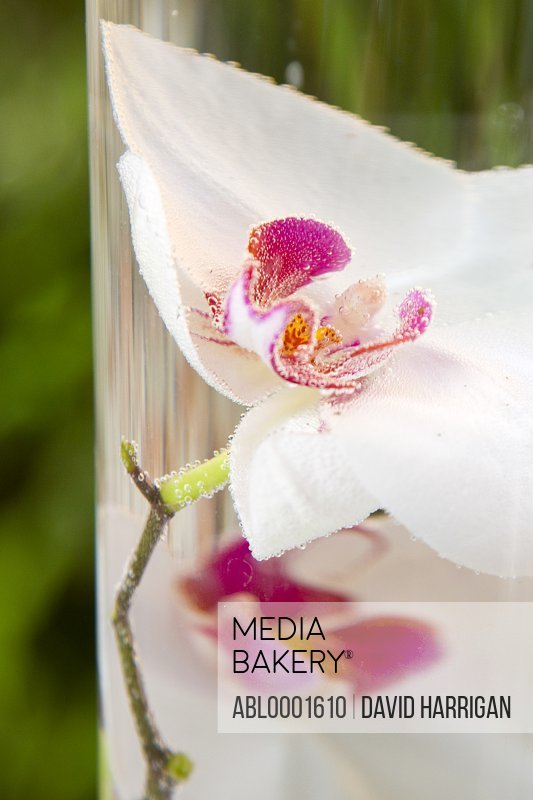 White and bright pink orchid blossom