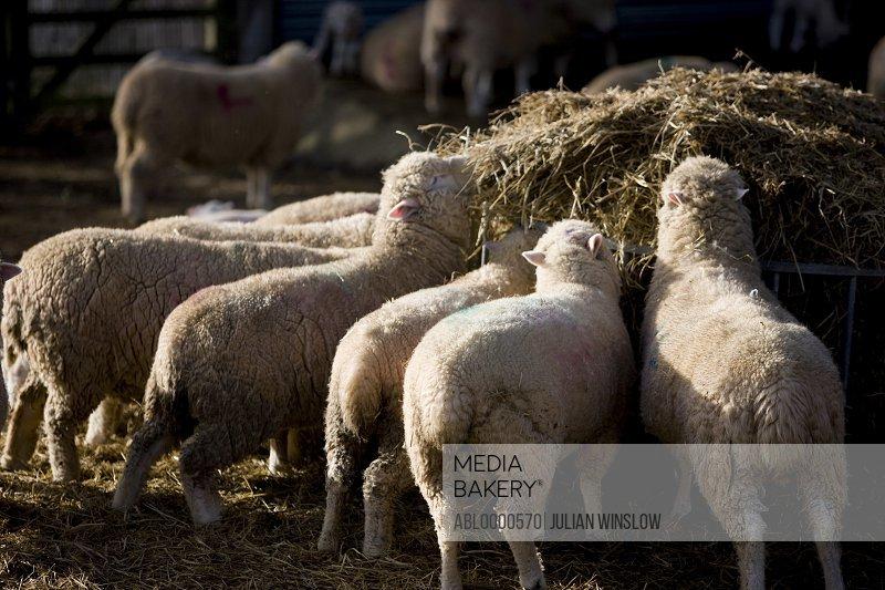 Sheep feeding on straw