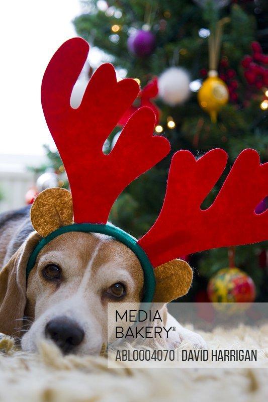 Beagle Dog Wearing Christmas Antlers