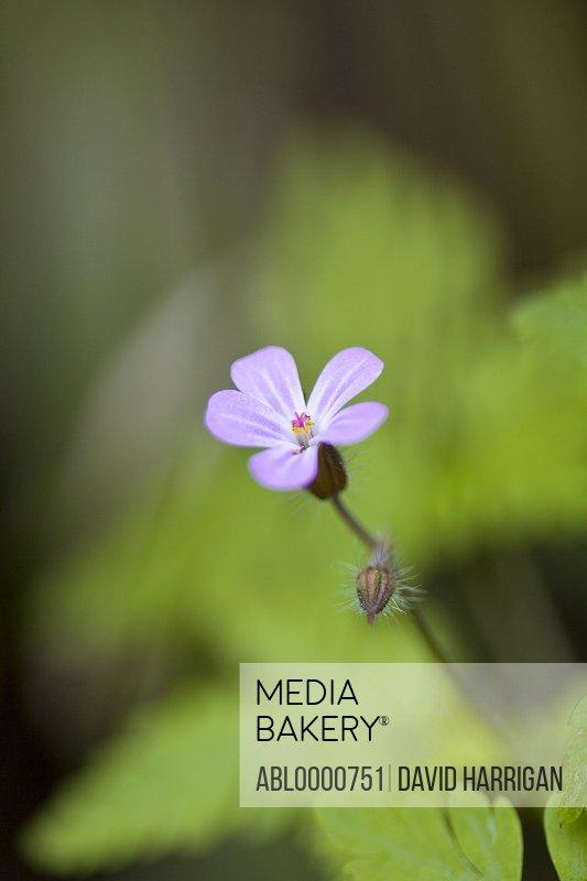 Herb Robert pink blossom - Geranium robertianum