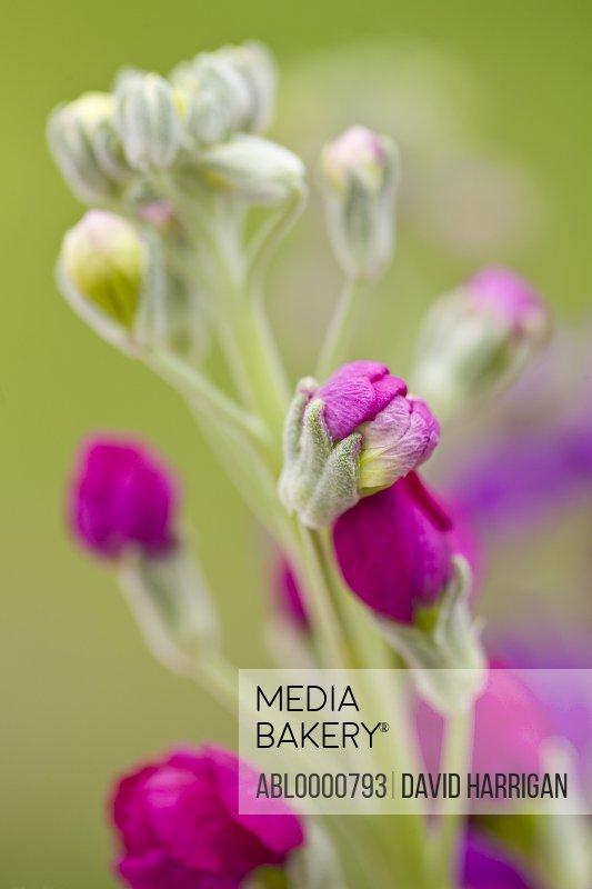 Stocks blossom - matthiola