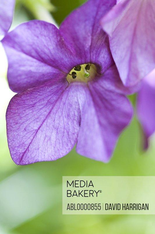 Lilac nicotiana flower