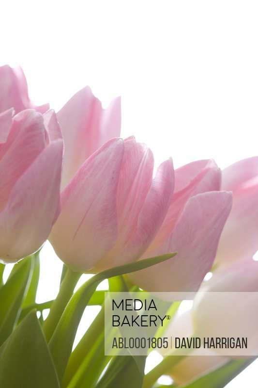 Close up of pink tulips - Tulipa