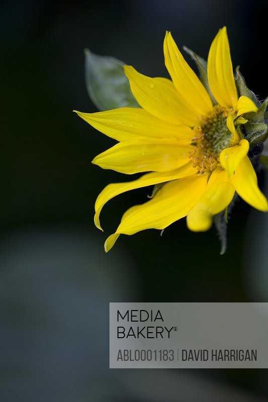 Close up of a sunflower - Helianthus annuus