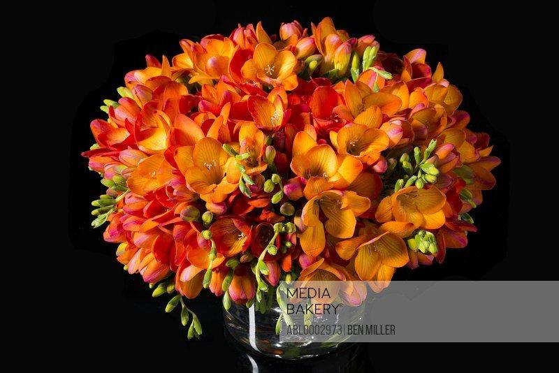 Close up of Orange Freesias