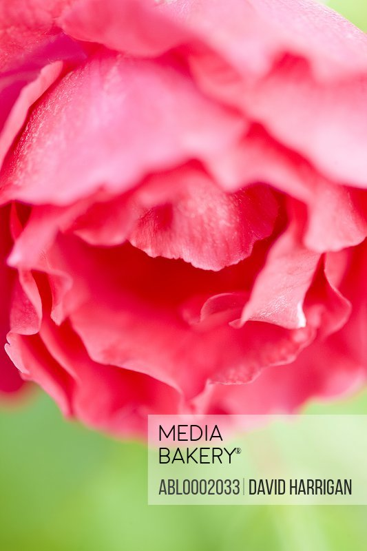 Extreme close up of a Red Rose