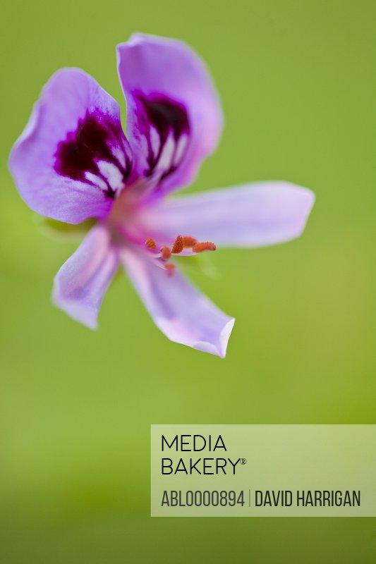 Close up of a purple pelargonium flower - Perlargonium graveolens