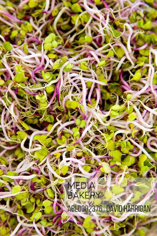 Sango Radish Sprouts