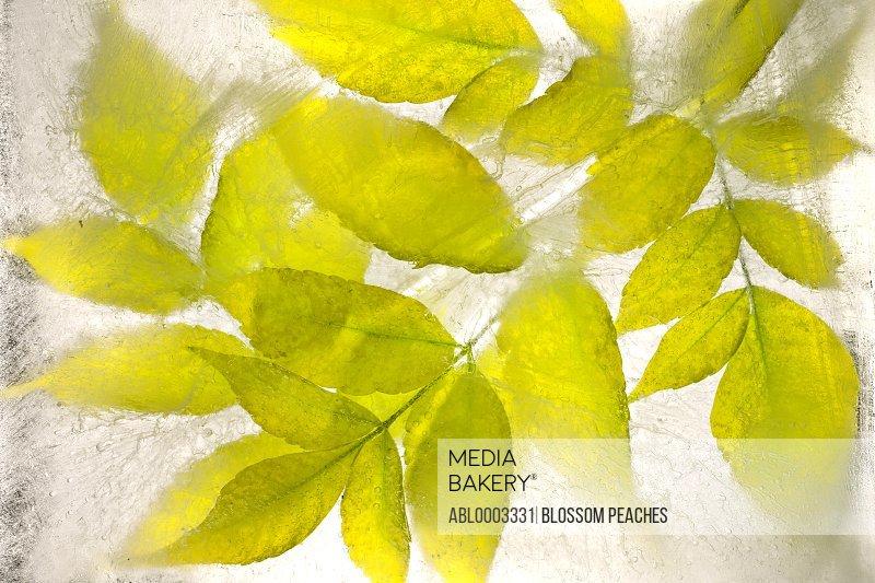 Green Leaves frozen in Water, Full Frame