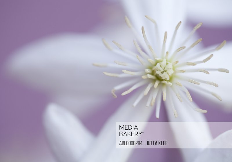 Close up of clematis blossom
