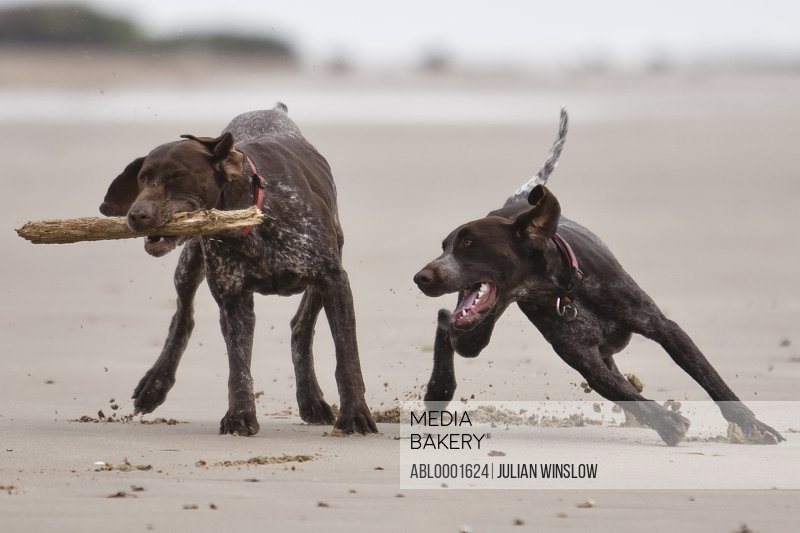 Two dogs running on a beach