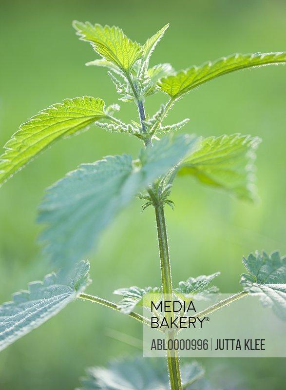 Nettle stalks and leaves