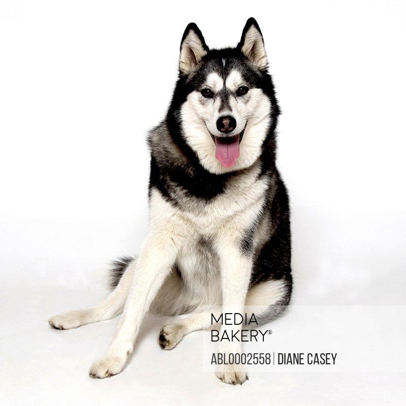 Alaskan Husky Dog