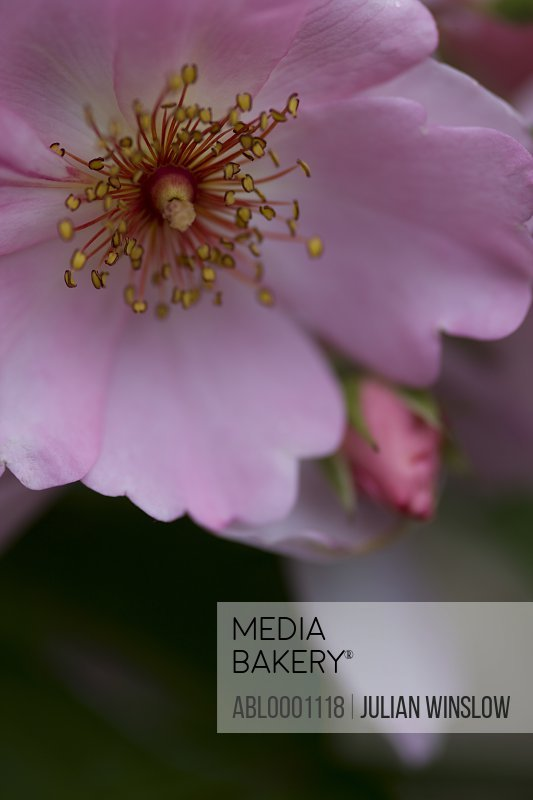 Extreme close up of a pink Sweet Haze rose