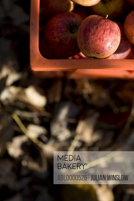 Close up of a crate of apples and dry leaves