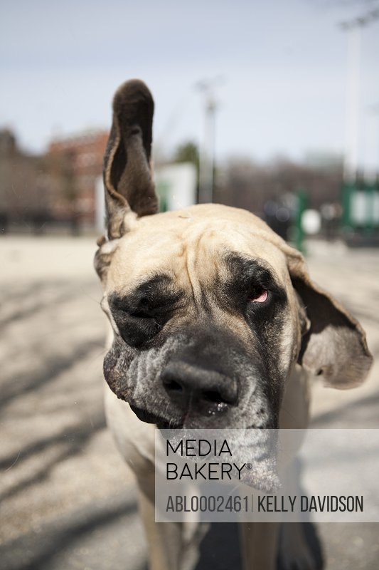 Mastiff Dog Shaking Ears
