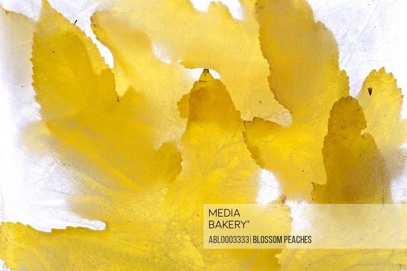 Yellow Leaves Frozen in Water, Full Frame