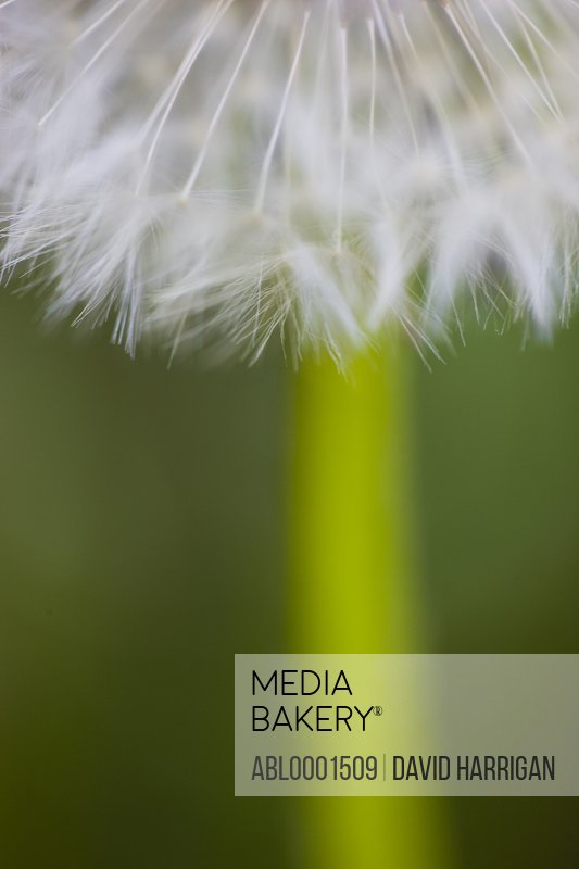 Close up of a seeding dandelion - Taraxacum seed