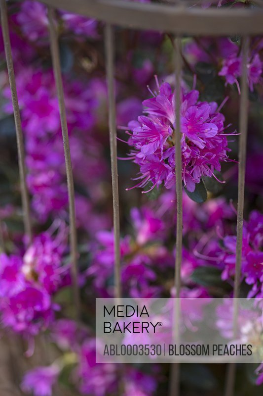Bright Pink Flowers in Birdcage, Close-up View