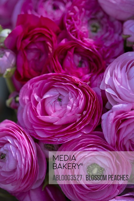 Bright Pink Persian Buttercup Flowers, Full Frame