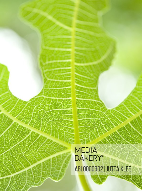 Extreme close up of fig leaf