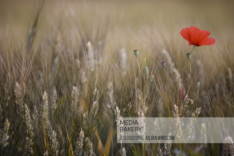 Close up of wheat stalks and red poppy flower