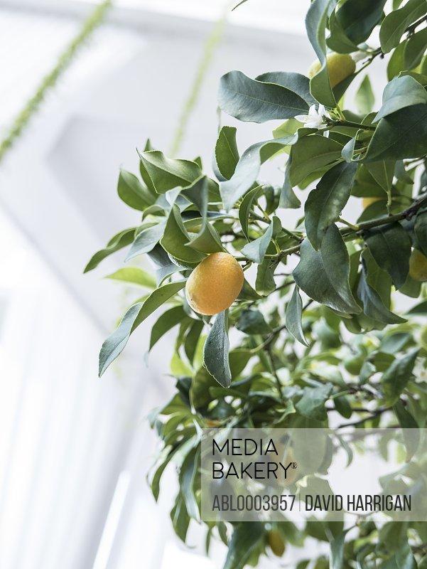Kumquat Plant, Close-up view
