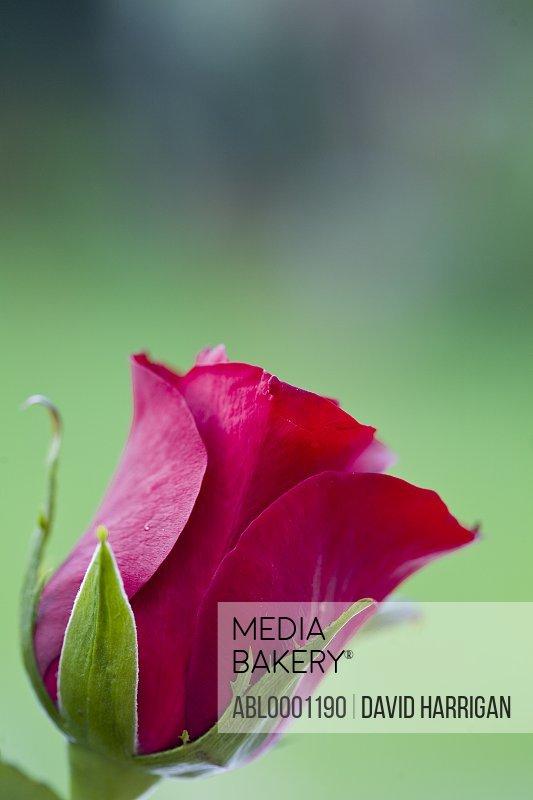Red rose - Rosa