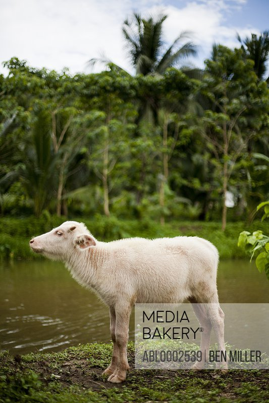 White Calf Standing by a River
