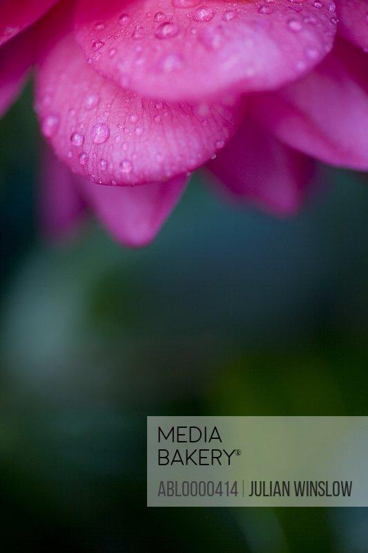 Bright pink camellia