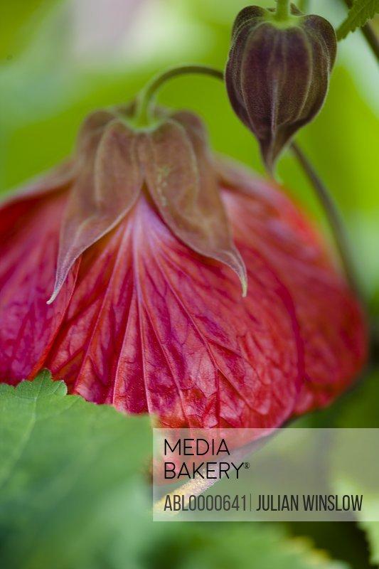 Close up of Abutilon blossom