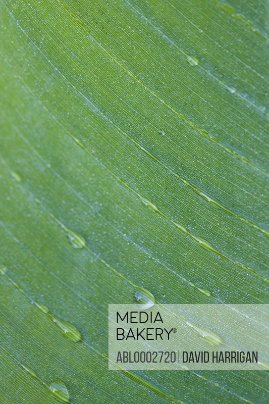 Extreme Close Up of Green Leaf with Dew Drops