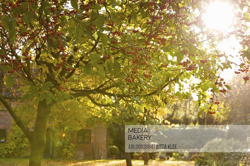 Crab apple tree in Autumn Garden
