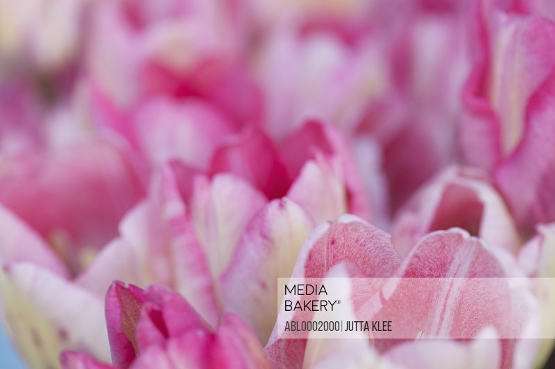 Extreme close up of Pink Tulips, Tulipa