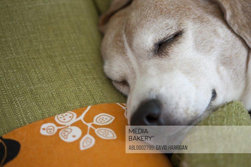 Sleeping Beagle Dog