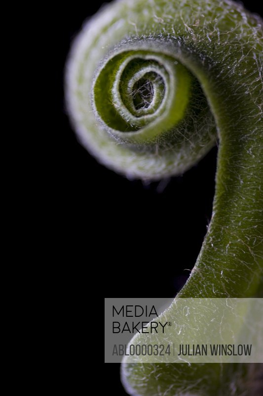 Hart's tongue fern Asplenium scolopendrium