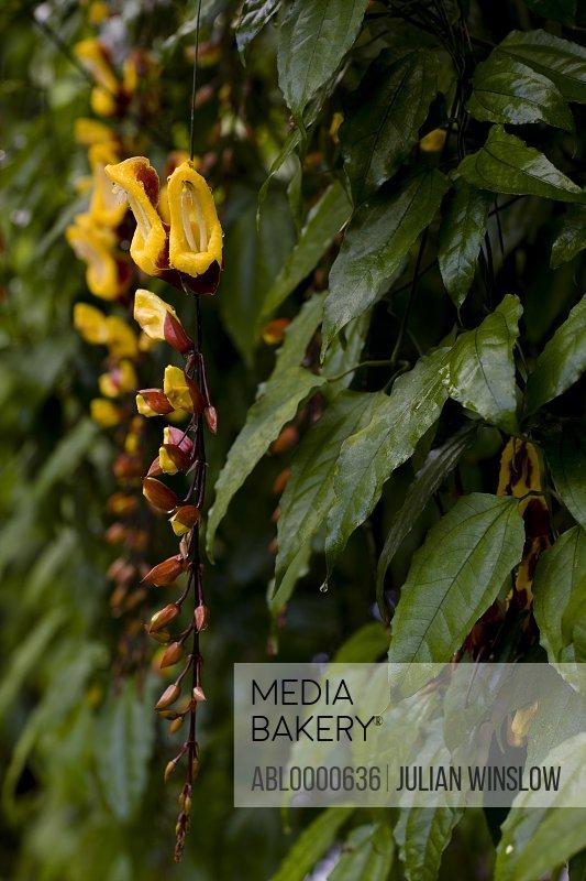 Clock Vine blossom             Thunbergia mysorensis