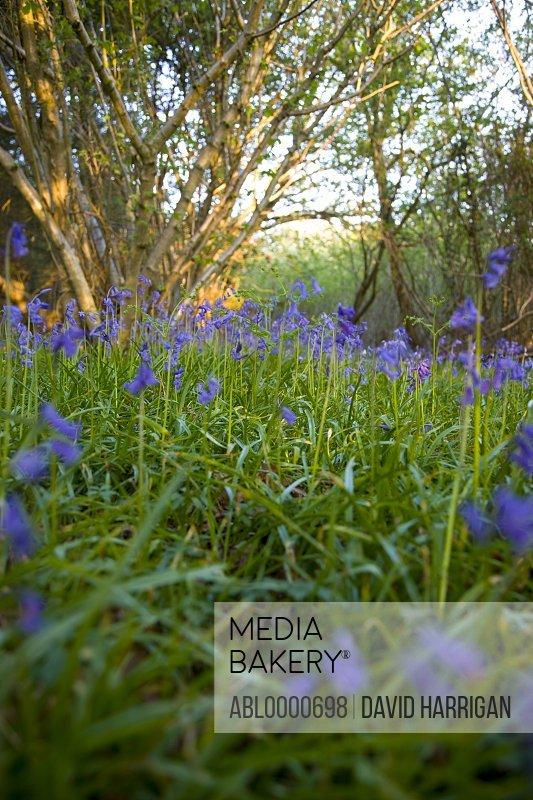 Field of bluebells Hyacinthoides non-scripta