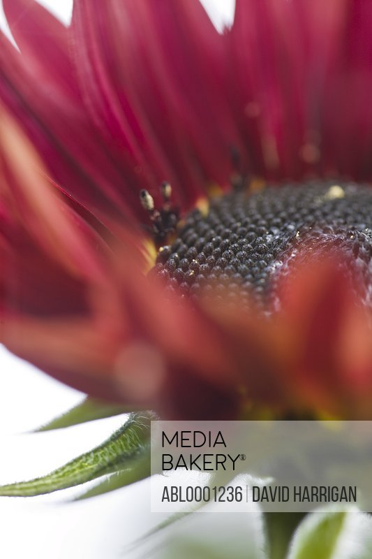 Close up of a red sunflower - Helianthus annuus